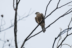 DSCF6470 (jojotaikoyaro) Tags: bird animal nature wildlife suginami tokyo japan fujifilm xh1 xf100400mm