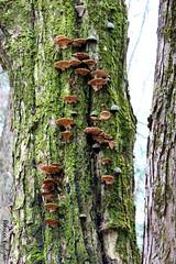 bracketfungus&moss (Rebecca Evelynn) Tags: sky lakeontario benches chickadee barredowls naturephotography presquileprovincialpark waves crazyclouds ice ducks woodpeckers floating islands bigrock moss greenmoss