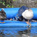 Rubber Ducky Ducky Ducky (4)