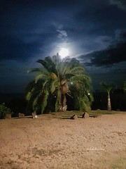 Carribean full moon #lefrancois #Martinique #fullmoon #carribeanfullmoon #carribeannight #carribeanlifestyle #carribeancolours #carribeannature #palmtree #moon #night #carribeanbeauty #beautifulnight #moonlight #travel #trip #placetovisit #placetosee #nig (isabella.cabre) Tags: natureisbeautifull nightphotography carribeanlifestyle moonlight beautifulnight carribeannature night carribeannight placetovisit carribeanfullmoon carribeanbeauty fullmoon palmtree moon trip lefrancois martinique placetosee travel photography carribeancolours