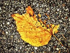 Broken Gold, Italy (costarob83) Tags: autumn shape imperfection broken nature ground colour gold