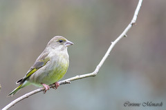 Verdier d'Europe (Corinne Ménardi) Tags: aves birds carduelischloris europeangreenfinch fringillidae fringillidés oiseaux passériformes verdierdeurope