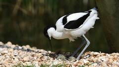 My family (waynedavey67) Tags: canon canon7dmkii 7dmkii 70200mmlf28 avocet bird nesting nest eggs wildlife wildandfree wild nature