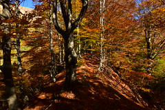 Hiking in the beech forest in Valgrande (supersky77) Tags: valgrande parconazionaledellavalgrande autunno autumn fall alps alpes alpen piemonte beech tree fagus fagussylvatica