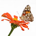 Painted Lady in the zinnias