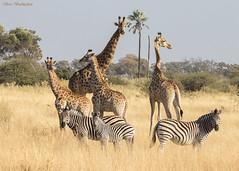 Savannah gathering (sbuckinghamnj) Tags: africa botswana giraffe zebra