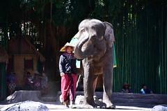 The show was brilliantly performed, both by man and elephant (shankar s.) Tags: seasia indonesia java bali islandparadise baliisland touristdestination balisafari balisafariandmarinepark entranceplaza tamansafariiii zoo openzoo fauna wildlife ticketingcounter reception elephantride tourists riders pachyderm elephant herbivore animal borneopygmyelephant asianelephant elephasmaximusborneensis elephantshow performingelephants play drama humanelephantconflict sombre zoovolunteer docent