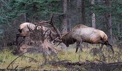 Elk bulls fighting Jasper Sept 2016_627 (Archie Richardson) Tags: bullelk jasper 2016 elkfighting