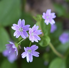 Lilac (MJ Harbey) Tags: lilac bright flower canonsashby nationaltrust northamptonshire purple stripes petals nikon d3300 nikond3300