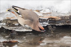 Bohemian Waxwing Cold Sip (Daniel Cadieux) Tags: waxwing bohemianwaxwing thirsty drink drinking water winter ice cold sip ottawa