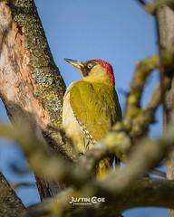 Green woodpecker resting high up in the tree top .• • • • • #birds #birdsofinstagram #bird #birdwatching #birdphotography #your_best_birds #birding #birdstagram #nuts_about_birds #wildlifephotography #kings_birds #bestbirdshots #wildlife #allmightybirds # (justin.photo.coe) Tags: ifttt instagram green woodpecker resting high up tree top • birds birdsofinstagram bird birdwatching birdphotography yourbestbirds birding birdstagram nutsaboutbirds wildlifephotography kingsbirds bestbirdshots wildlife allmightybirds featherperfection instabirds instabird birdlovers birdfreaks pocketbirds birdextreme greenwoodpecker justinphotocoe lumixg9