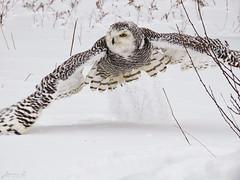 Robert Snowy Owl CRC IMG_3653_edited-1 (Jennz World) Tags: ©jennifermlivick canadianraptorconservancy vittoria ontario canada snowyowl owl raptor winter snow