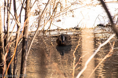 Solitary (gbuss04) Tags: creek pond water duck solitary winter feathers