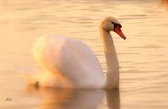 Serene Swan (Helen:) Tags: rickmansworthaquadrome