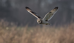Short-eared Owl from today (Steve D'Cruze) Tags: asio flammeus short eared owl sefton merseyside nikon d500 sigma 150600 c