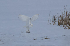 Lift Off (Peter Stahl Photography) Tags: snowy snowowl snow voles owl winter