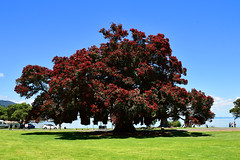 Pohutakawa (bevanwalker) Tags: pohutakawa tree beach sea water photography outdoor nature native grass moment colour red flowers green time summer people cars reserve d750 nikon lens 2470mmf28