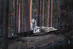 Family (hudsonleipzig80) Tags: wildlife outdoor nature natur naturephotography wildpark brandenburg tiere animals animal canon canoneos1200d eos1200d tamronsp70300 winter polarwolf