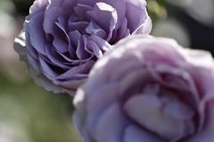 Rose 'Blue Bajou' raised in Germany (naruo0720) Tags: rose germanrose bluebajou germanrosescollection バラ ドイツのバラ ブルーバウ ドイツのバラコレクション nikonscamera sigmalenses d810 sigma105mmf28exdgoshsm