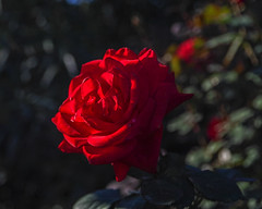 2018 Autumn rose (shinichiro*) Tags: 20181102sdim6795 2018 crazyshin sigmasdquattroh sdqh sigma1770mmf284dcmacrohsm november autumn yokohama 横浜イングリッシュガーデン rose flower macro 46458141701 4968323 201904gettyuploadesp