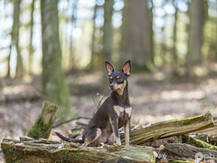 Nestor dans son élément favori (Philippe Bélaz) Tags: nestor pragois ratierdeprague animal animaux animauxdecompagnie bois brun chiens chocolat forêts