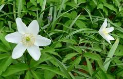 Wood Anemone - Anemone nemorosa - Lanhydrock NT Cornwall -260418 (1) (Ann Collier Wildlife & General Photographer) Tags: woodanemone anemonenemorosa lanhydrocknt cornwall nationaltrustpropertiesuk white whiteflowers