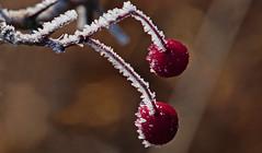 red dot (Lutz Koch) Tags: red rot ice frost raureif idsteinerland taunus idstein waldhof niederseelbach dogwalk strauch busch beeren berry shrub bush hoarfrost elkaypics lutzkoch