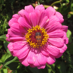 Calopteron reticulatum (Lycidae) (tigerbeatlefreak) Tags: calopteron reticulatum insect netwinged beetle coleoptera lycidae nebraska