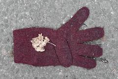 Knitted Burgundy Glove (pni) Tags: ground pavement leaf knitted glove strw clothing whatremains helsinki helsingfors finland suomi pekkanikrus skrubu pni