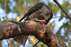 collared sparrowhawk (Accipiter cirrocephalus) (johnedmond) Tags: perth westernaustralia hamerpark collared sparrowhawk bird birdofprey raptor nature wildlife canon eos7d 100400mm ef100400mmf4556lisiiusm 7dmkii