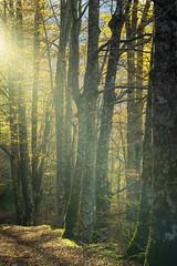 Autunno abruzzese (Marco(s)) Tags: autunno autumn foliage boschi bosco alberi woods light giallo luce yellow