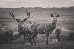 Deer at Ashton Court (e.east0804@hotmail.co.uk) Tags: olympus olympusem1mkii olympusomd deer bristol ashton ashtoncourtestate