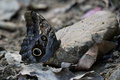 Mariposa búho – Owl butterfly (Luis Miguel D.) Tags: butterfly macro macrografia mariposas mariposa macrophotography small sonyalpha insectos insects animals animales naturaleza nature naturephotography sony a6000 photography fauna