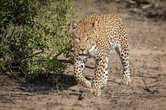 On the Prowl... (DTT67) Tags: leopard africa safari southafrica sabisabi 100400mmii 1dxmkii canon nature wildife