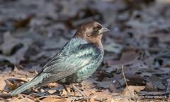 Brown Headed Cowbird (snapp3r) Tags: brownheadedcowbird centralpark cowbird