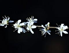 Blackthorn Flowers - Hauxley (Gilli8888) Tags: nikon p900 coolpix birds hauxley nature northumberland wetlands flowers blackthorn whiteflowers