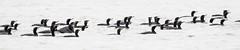 DOUBLE-CRESTED CORMORANTS (nsxbirder) Tags: batavia birds clermontcounty ohio eastforkstatepark doublecrestedcormorant us