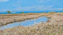 Little egret at Oropos lagoon (apapac) Tags: oropos lagoon ωρωπόσ λιμνοθάλασσα πουλιά bird birdwatching greece oiseau grèce lagune egretta garzetta