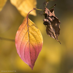 _D552424 (De Hollena) Tags: autumn autumnleaves fall feuille herbst herfst herfstblad herfstkleuren leaf otoño
