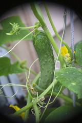 Fay's Garden (milfodd) Tags: july 2018 garden cucumber