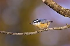 sunny nuthatch (G_Anderson) Tags: missouri yard birds birding backyard winter urban red breasted nuthatch migration irruption