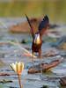 African Jacana flying in (Thomas Retterath) Tags: nopeople africa africanjacana jacana chobe botswana bird water waterlily lily safari wildlife coth5