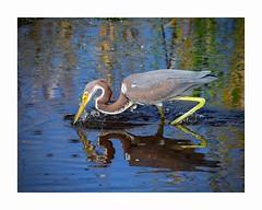 Tricolored Heron (George McHenry Photography) Tags: heron shorebird birds tricolor tricolorheron southcarolinabirds southcarolina huntingtonbeachstatepark