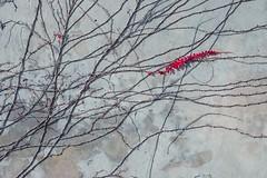 Feuille rouge (dono heneman) Tags: feuille leaf rouge red végétal vegetal végétation mur wall planterampante creepingplant tige stem couleur color peyriacdemer aude languedocroussillon occitanie france pentax pentaxart pentaxk3 rampant creeping ombre shadow