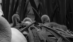 SCOTLAND UK (ANNIE MARTIN PHOTOGRAPHIC IMAGERY) Tags: scotland uk white swans signets pond babies castle
