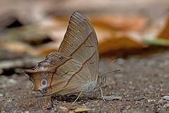 Lethe sinorix - the Red-tailed Forester (BugsAlive) Tags: butterfly mariposa papillon farfalla schmetterling бабочка conbướm ผีเสื้อ animal outdoor insects insect lepidoptera macro nature nymphalidae lethesinorix redtailedforester satyrinae wildlife doisutheppuinp ดอยสุเทพ chiangmai liveinsects thailand ผีเสื้อในประเทศไทย thailandbutterflies bugsalive nikon105mm ผีเสื้อเลอะเทอะหางแดง