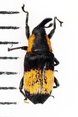 2014-7-6camp_3602c (mcclarinj) Tags: curculionidae cosanga napo ecuador jimmcclarin