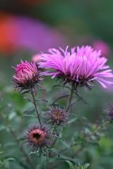 Michaelmas Daisies (haberlea) Tags: garden michaelmasdaisies flowers mygarden