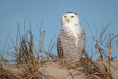 Snowy Owl NJ. (stephenwalshphoto) Tags: