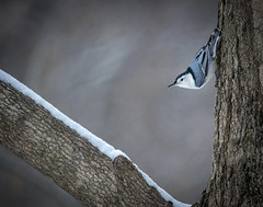 White Breasted Nuthatch..... (Kevin Povenz Thanks for all the views and comments) Tags: 2018 december kevinpovenz westmichigan michigan ottawa ottawacounty ottawacountyparks hagerpark jenison bird whitebreastednuthatch songbird tree outside outdoors nature canon7dmarkii sigma150500